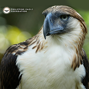 PAL renews commitment to protect the Philippine Eagle